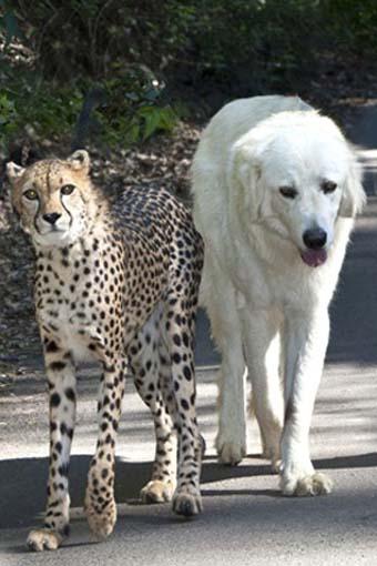 الفهد وكلب الأناضول - فهد كلب ابيض