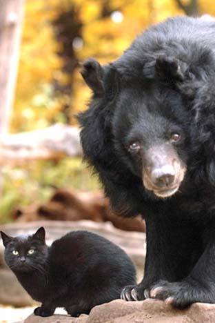 الدب الآسيوي والقط الأسود - دب اسيوى قط اسود
