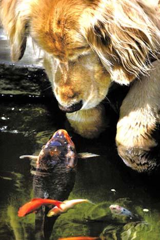 كلب المسترد الذهبي وسمكة الكوي