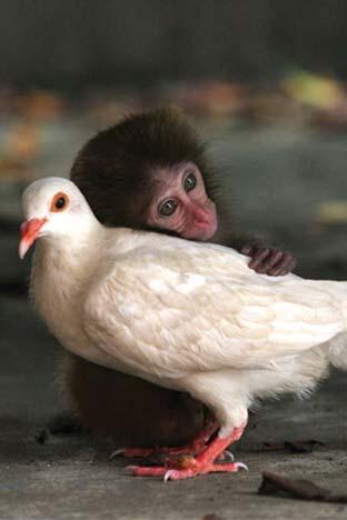 علاقة حميمة جدا بين حيوان المكاك من فصيلة القرود والحمام حمامة