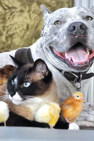 الحب بين كلب البيتبول، القط السيامي والفراخ الصغيرة