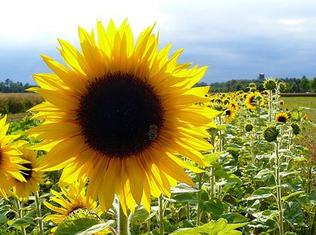 زهرة دوار الشمس - عباد الشمس
