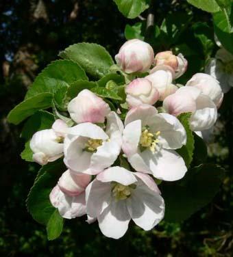 زهرة التفاح
